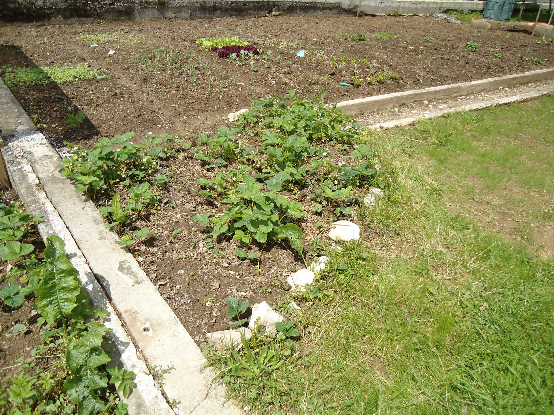 A strawberry patch